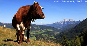 'Check it out! There's Alps all around Innsbruck!' from the web at 'http://www.tourmycountry.com/austria/../graphics/cow.jpg'