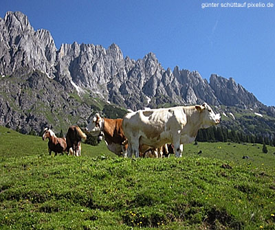 These cows in Tyrol have decided to relax